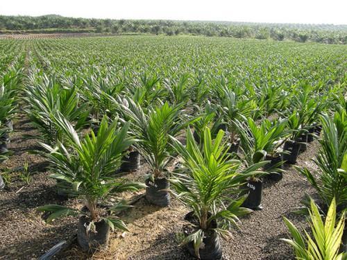 Le Cameroun veut s'inspirer de la Malaisie, pour franchir la barre de 450 000 tonnes d'huile de palme en 2020