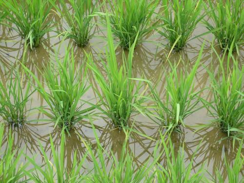 Bientôt une rizière supplémentaire de 918 ha dans la ville de Ndop