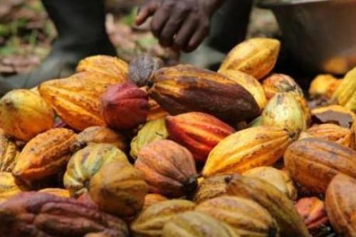 يتجاوز سعر الكاكاو في الكاميرون شريط 1 000 FCFA للكيلوغرام الواحد ، مع اقتراب موسم الأمطار