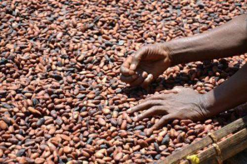 La crise dans les régions anglophones du Cameroun intensifie les exportations frauduleuses du cacao vers le Nigeria