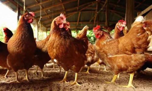 Levée de l'interdiction du commerce du poulet dans la région de l'Ouest, premier bassin de production du Cameroun