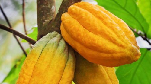 Negli anni 3, i giovani camerunesi 76 creeranno almeno 228 ettari di nuovo cacao nella regione centrale