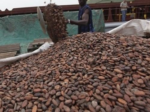 Les prix bord champ du cacao camerounais repartent à la hausse, à 1500 FCfa le kilogramme