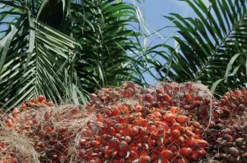 Cameroun : au 1er trimestre 2016, Safacam a finalisé la construction d'une unité de production d'huile de palmiste