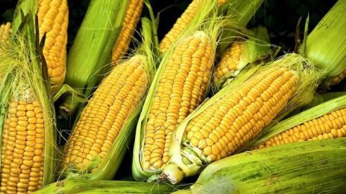 Cameroun : un investissement de 3,5 milliards de FCfa pour produire et transformer 10 900 tonnes de maïs dans le Noun
