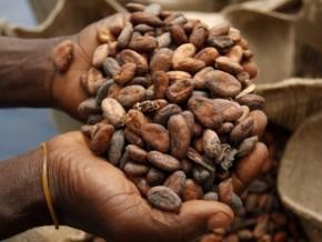 en-cinq-mois-de-campagne-le-cameroun-a-déjà-exporté-115-951-tonnes-de-cacao