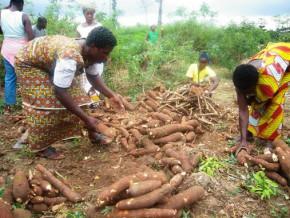des-champs-semenciers-de-manioc-en-vue-pour-approvisionner-la-sotramas-au-cameroun