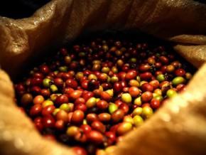 le-cameroun-a-exporte-13-871-tonnes-de-cafe-entre-janvier-et-aout-2016