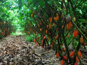le-cicc-veut-créer-900-hectares-de-cacao-en-2015-2016-grâce-au