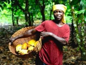 la-saison-sèche-tire-vers-le-haut-les-prix-bord-champs-du-cacao-au-cameroun