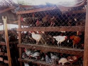 six-mois-apres-la-decouverte-du-dernier-foyer-de-grippe-aviaire-la-restriction-de-la-circulation-des-volailles-reste-en-vigueur-a-l-ouest-du-cameroun