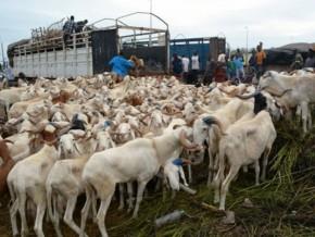 l'afrique-centrale-peaufine-sa-stratégie-d'éradication-de-la-peste-des-ruminants-à-yaoundé-la-capitale-camerounaise