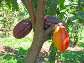 nouvelle-remontée-des-prix-bord-champs-du-cacao-camerounais-en-fin-de-campagne