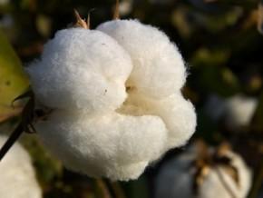 le-cameroun-pourrait-se-lancer-dans-la-culture-du-coton-génétiquement-modifié-dans-3-ans