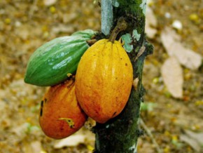 léger-fléchissement-des-prix-du-cacao-bord-champ-sur-le-marché-camerounais