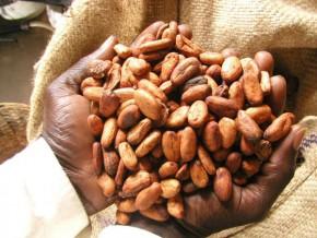 cameroun-telcar-cocoa-debloque-2-2-milliards-de-fcfa-de-primes-au-profit-des-producteurs-de-cacao-certifie