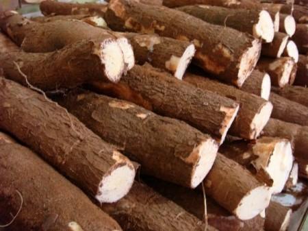 Les recherches sur le manioc portent leurs fruits au for Portent ses fruits