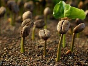 150-tonnes-d-engrais-distribuees-aux-producteurs-de-cafe-du-departement-du-moungo-dans-la-region-camerounaise-du-littoral