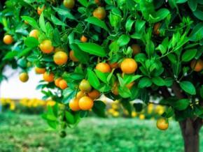 cameroun-un-projet-de-1785-milliards-fcfa-pour-développer-la-culture-des-arbres-fruitiers
