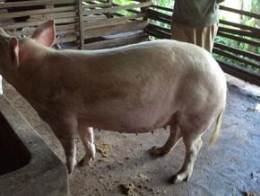 la-psychose-autour-de-la-peste-porcine-provoque-une-penurie-de-la-viande-de-porc-dans-la-region-de-l-adamaoua