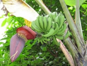 cameroun-la-production-de-la-banane-plantain-requiert-20-millions-de-plants-par-an-selon-le-carbap