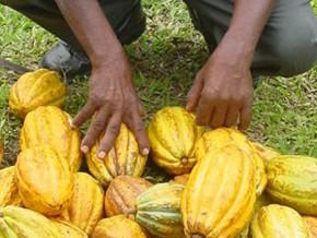 cameroun-la-beac-projette-une-baisse-de-la-production-cacaoyère-2015-2016-d'environ-20-000-tonnes
