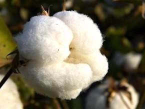 cameroun-la-sodecoton-vise-une-production-de-248-150-tonnes-de-coton-au-cours-de-la-campagne-2016-2017