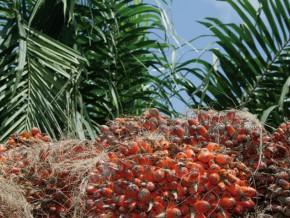 cameroun-au-1er-trimestre-2016-safacam-a-finalise-la-construction-d-une-unite-de-production-d-huile-de-palmiste