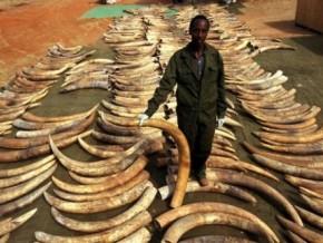 187-pointes-d'ivoire-fraîches-saisies-dans-la-capitale-camerounaise
