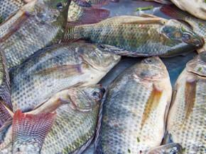 un-investissement-de-1-6-milliard-fcfa-pour-produire-241-tonnes-de-poissons-et-1-3-million-d-alevins-a-l-ouest-du-cameroun