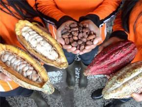 vers-une-légère-hausse-de-la-production-cacaoyère-au-cameroun-sur-la-campagne-2014-2015