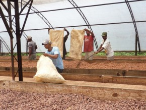 le-cicc-dotera-les-producteurs-camerounais-de-centres-de-traitement-post-récolte-du-cacao