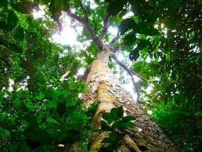 le-sapelli-et-l-acajou-placent-le-cameroun-parmi-les-premiers-exportateurs-de-bois-vers-le-canada-et-les-etats-unis