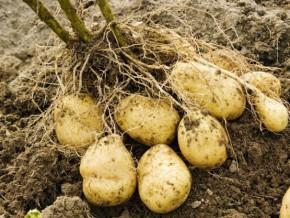 les-producteurs-de-la-région-de-l'est-cameroun-recevront-gratuitement-175-tonnes-de-semences-de-pommes-de-terre-en-2015