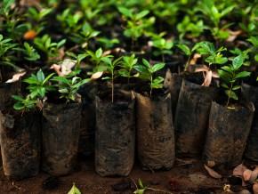 cameroun-4-5-millions-de-plants-de-cacaoyers-et-cafeiers-seront-mis-a-la-disposition-des-producteurs-en-2017