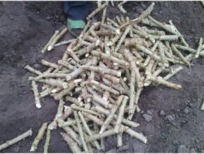plus-de-720-000-boutures-de-manioc-distribuées-aux-producteurs-camerounais