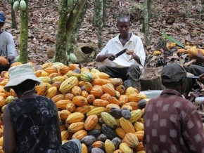 un-centre-de-formation-à-la-certification-du-cacao-créé-dans-la-lékié-le-plus-grand-bassin-de-production-du-cameroun