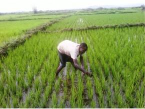 plus-de-2500-producteurs-parés-pour-se-lancer-dans-la-culture-du-riz-à-l'est-cameroun