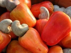 cameroun-le-gic-ribaou-a-produit-33-6-tonnes-d-anacarde-dans-la-region-du-nord-en-2017-augmentant-sa-recolte-d-environ-40
