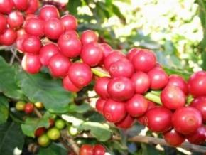 le-cameroun-adopte-un-plan-de-600-milliards-de-fcfa-pour-la-relance-des-filières-cacao-café