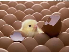 bilan-de-la-grippe-aviaire-au-cameroun-54-000-volailles-abattues-25-foyers-identifies
