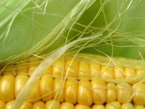 au-cameroun-maiscam-a-etendu-ses-surfaces-cultivables-de-1000-hectares-pour-profiter-de-la-forte-demande-en-cereales