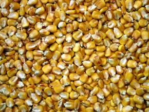 900-tonnes-de-semences-améliorées-de-maïs-en-gestation-dans-la-région-de-l'est-cameroun