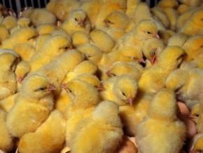 cameroun-la-mission-de-développement-du-nord-ouest-recherche-900-000-poussins-d'un-jour-pour-booster-l'aviculture