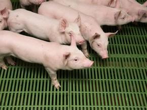 la-peste-porcine-africaine-menace-le-cheptel-de-la-région-de-l'extrême-nord-du-cameroun