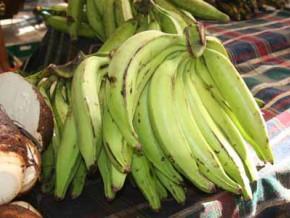 cameroun-1000-hectares-de-bananier-plantain-en-vue-dans-la-région-du-nord-ouest