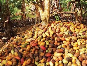 cameroun-la-campagne-cacaoyere-2017-2018-demarre-avec-un-prix-moyen-bord-champ-de-875-fcfa-le-kg-contre-1-400-fcfa-en-2016-2017