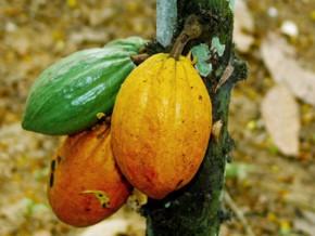 le-cameroun-veut-reduire-de-50-la-redevance-a-l-exportation-du-cacao-afin-de-ne-pas-decourager-les-operateurs-de-la-filiere