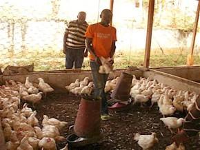 cameroun-un-mois-apres-la-decouverte-de-foyers-de-grippe-aviaire-la-filiere-avicole-a-perdu-10-milliards-de-fcfa