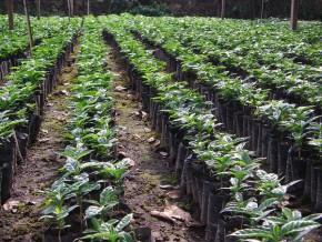 le-cameroun-s-achemine-vers-la-resorption-de-son-deficit-de-production-de-plants-de-cafeiers